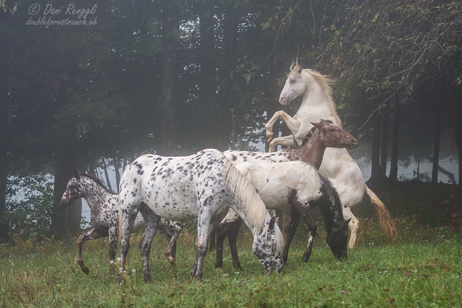 DFR Doundation Appaloosa