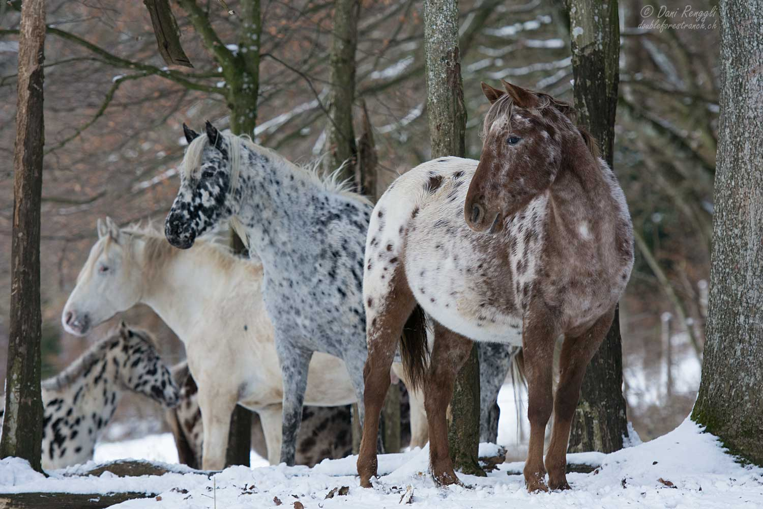Foundation Appaloosa Herde