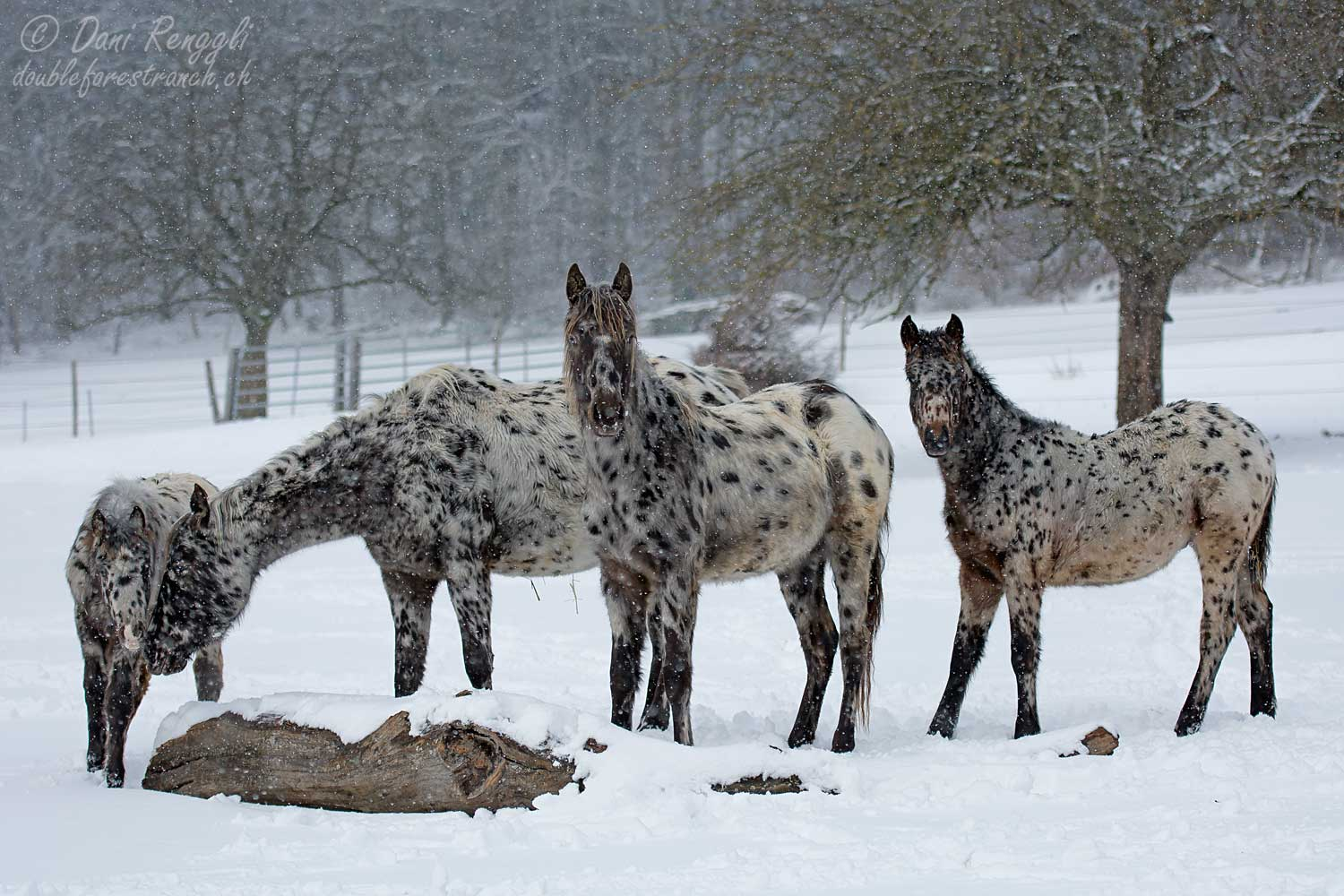 Leopard Foundation Appaloosa