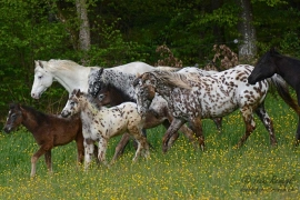 Foundation Appaloosa Harems-Herde
