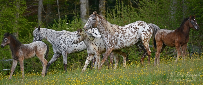 Foundation Appaloosa Stuten mit Fohlen