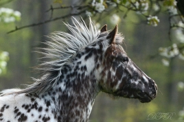 "DFR Siksika Shiloh, ""true"" Foundation Appaloosa"