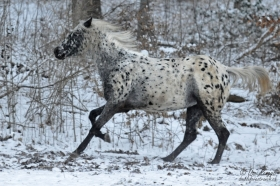 Foundation Appaloosa Stute