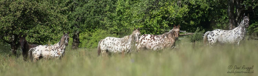 DFR Foundation Appaloosa Herde