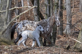 Foundation Appaloosa mit few spot Fohlen