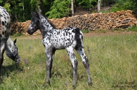 DFR Blugianni Shadow, Foundation Appaloosa Fohlen