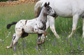 Foundation Appaloosa Fohlen