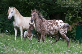 Foundation Appaloosa Hengst